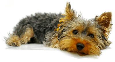 yorkshire terrier newsletter