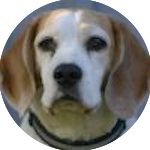 breed of the month Beagle