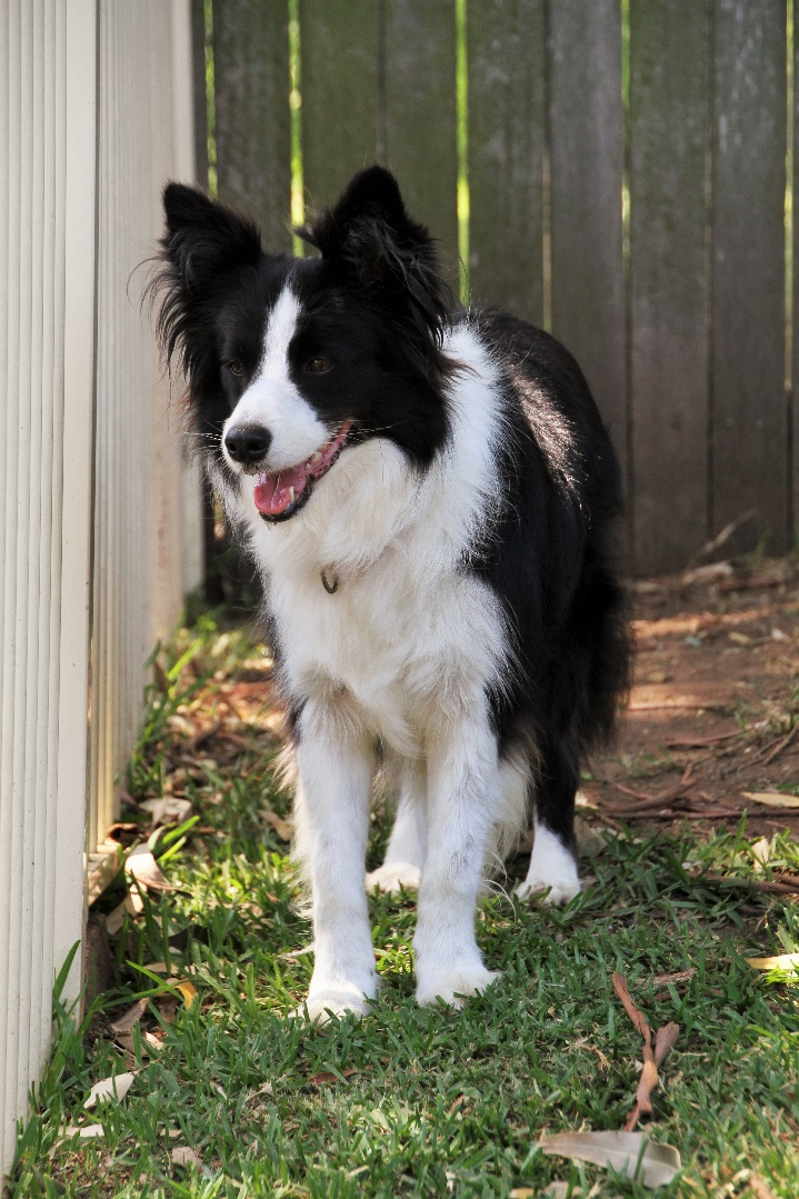 Breed Of The Month - Border Collie