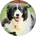 breed of the month Border Collie