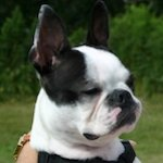 breed of the month The Boston terrier