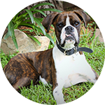breed of the month The Boxer