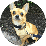 breed of the month Chihuahua