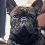 breed of the month French Bulldog