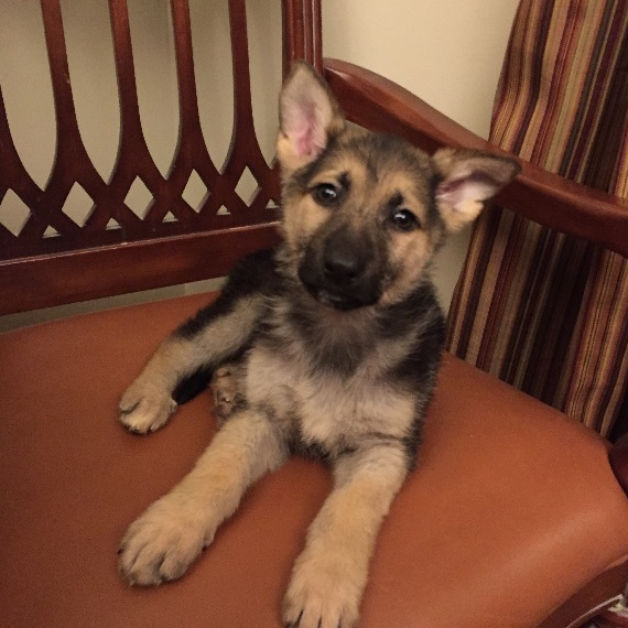 Breed Of The Month The German Shepherd