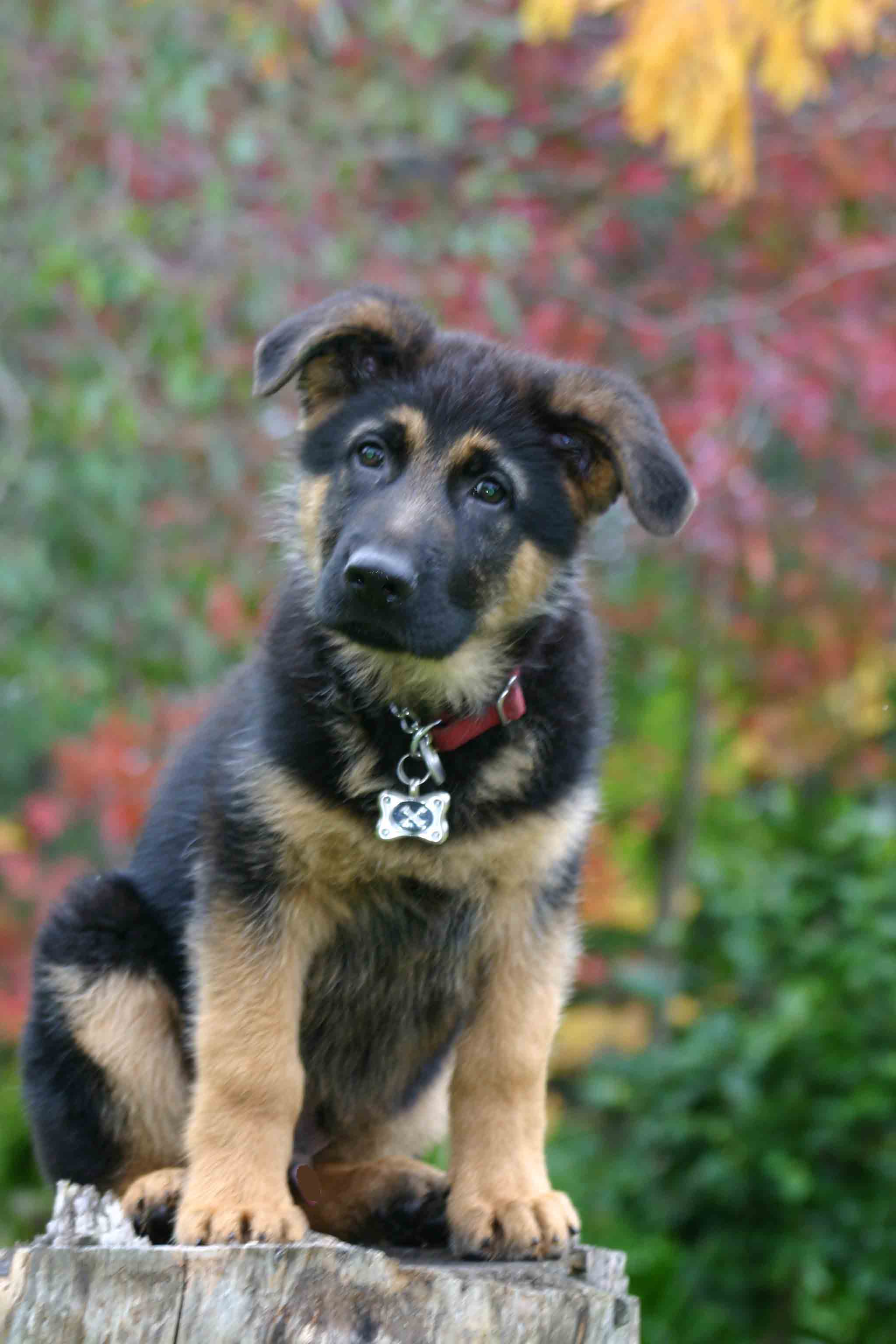 When do the ears of German shepherds get up Tips of dog breeders