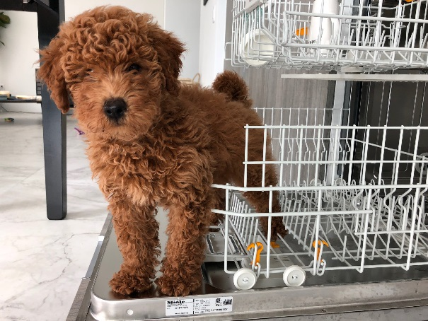 Bark Busters Breed Of The Month Goldendoodle