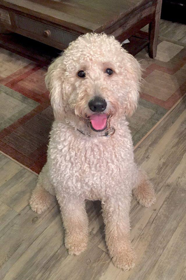 Bark Busters Breed Of The Month - Goldendoodle