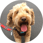 breed of the month Goldendoodle
