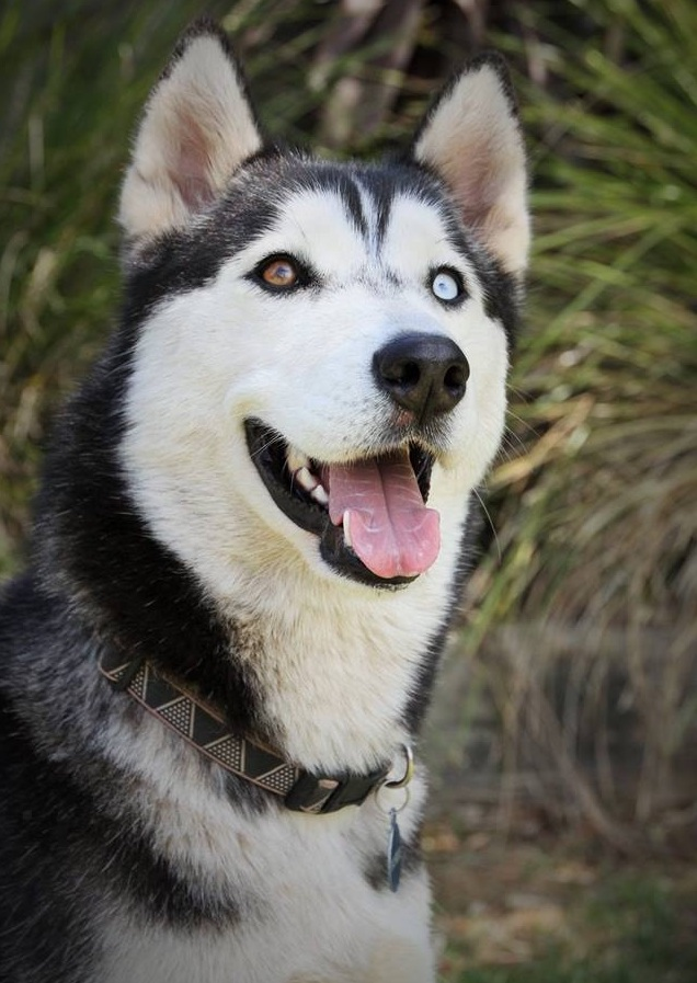 Bark Busters Breed of the Month - The Siberian Husky