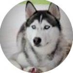 breed of the month Siberian Husky