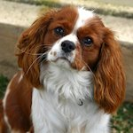 breed of the month Cavalier King Charles Spaniel