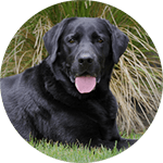 breed of the month The Labrador