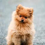 breed of the month Pomeranian