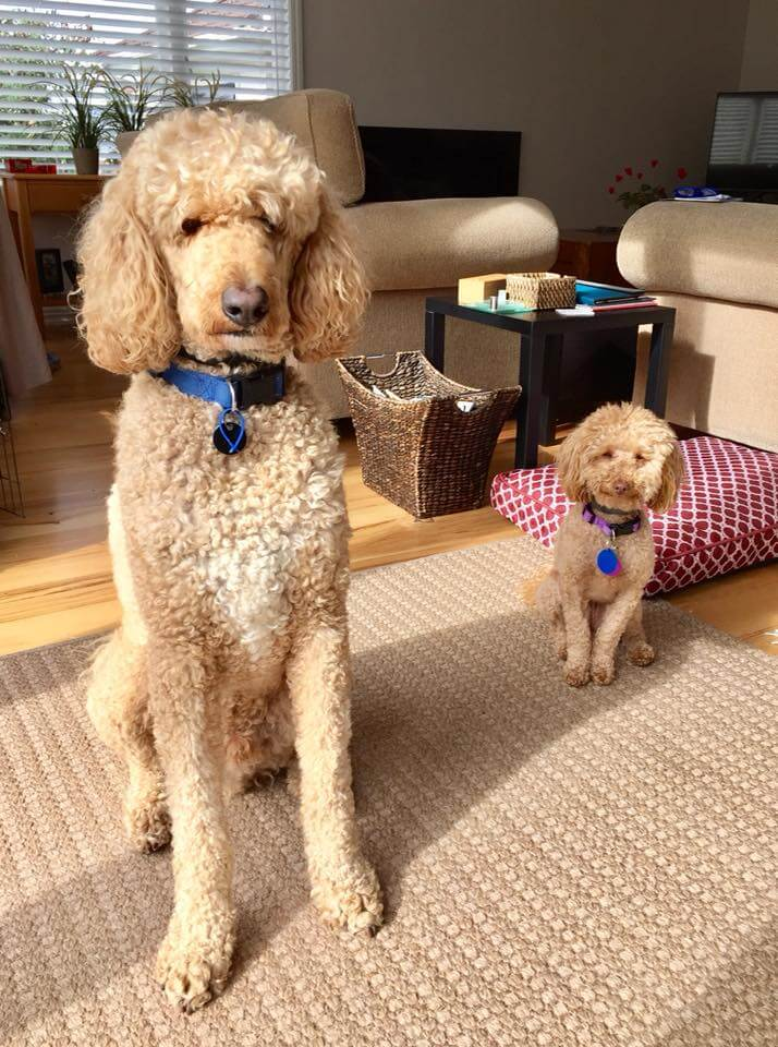 Bark Busters Breed Of The Month The Poodle