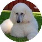 breed of the month Poodle