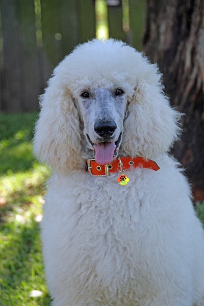 Bark Busters Breed of the Month - The Poodle