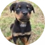 breed of the month Rottweiler