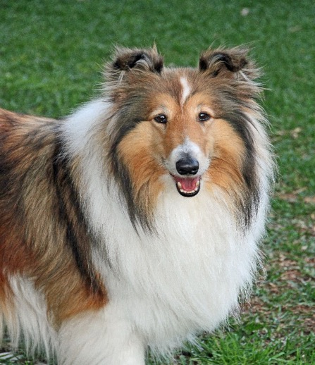 rough collie grooming