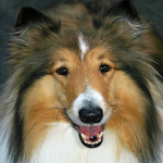 breed of the month Rough Collie