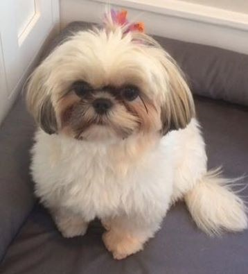 Breed Of The Month Shih Tzu
