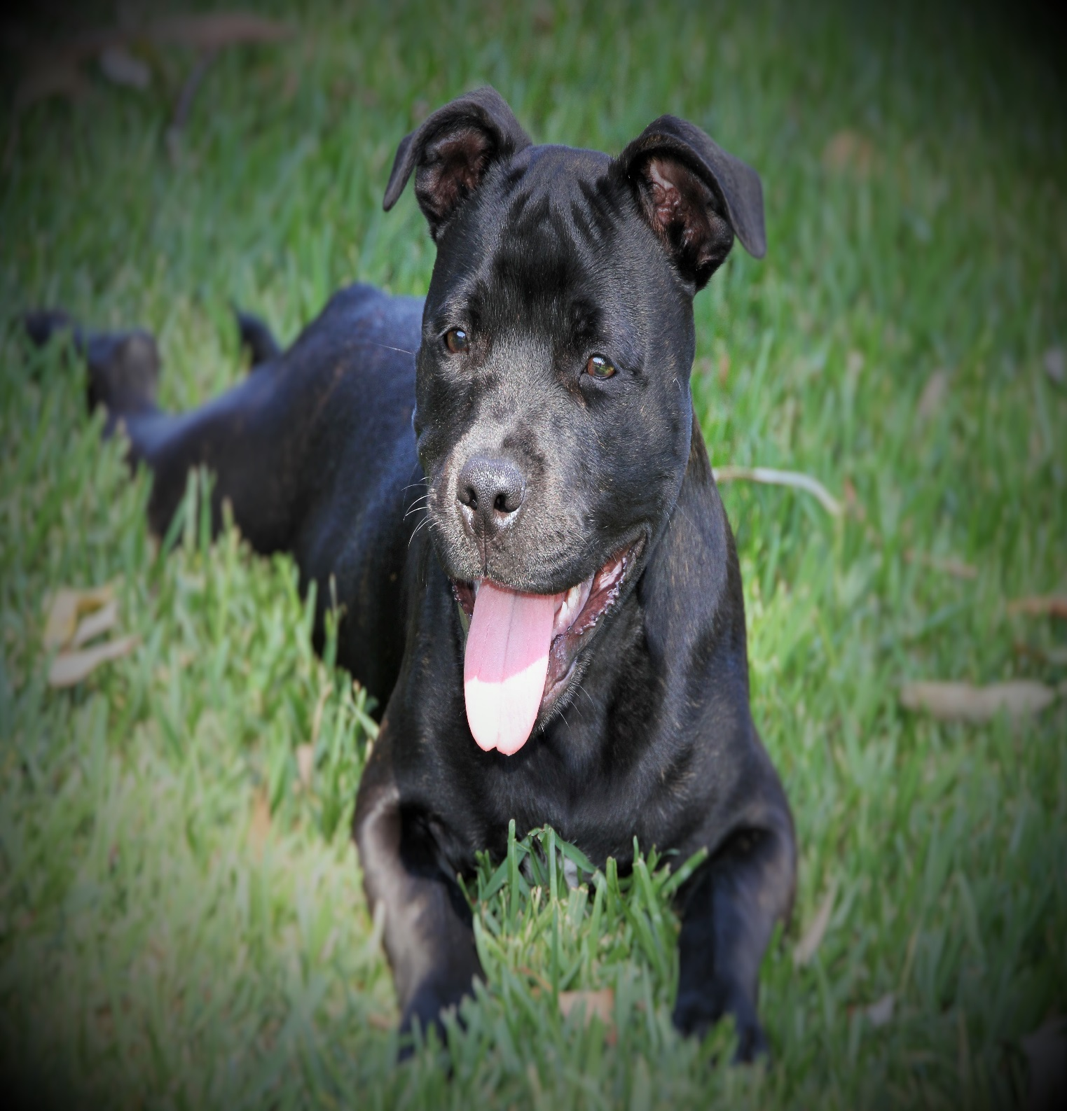 Breed Of The Month - Staffordshire Bull Terrier