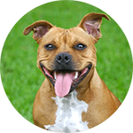 breed of the month Staffordshire Bull Terrier