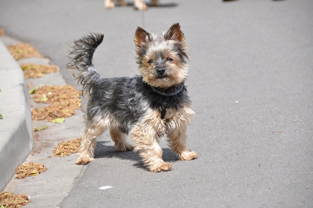 Breed Of The Month Yorkshire Terrier